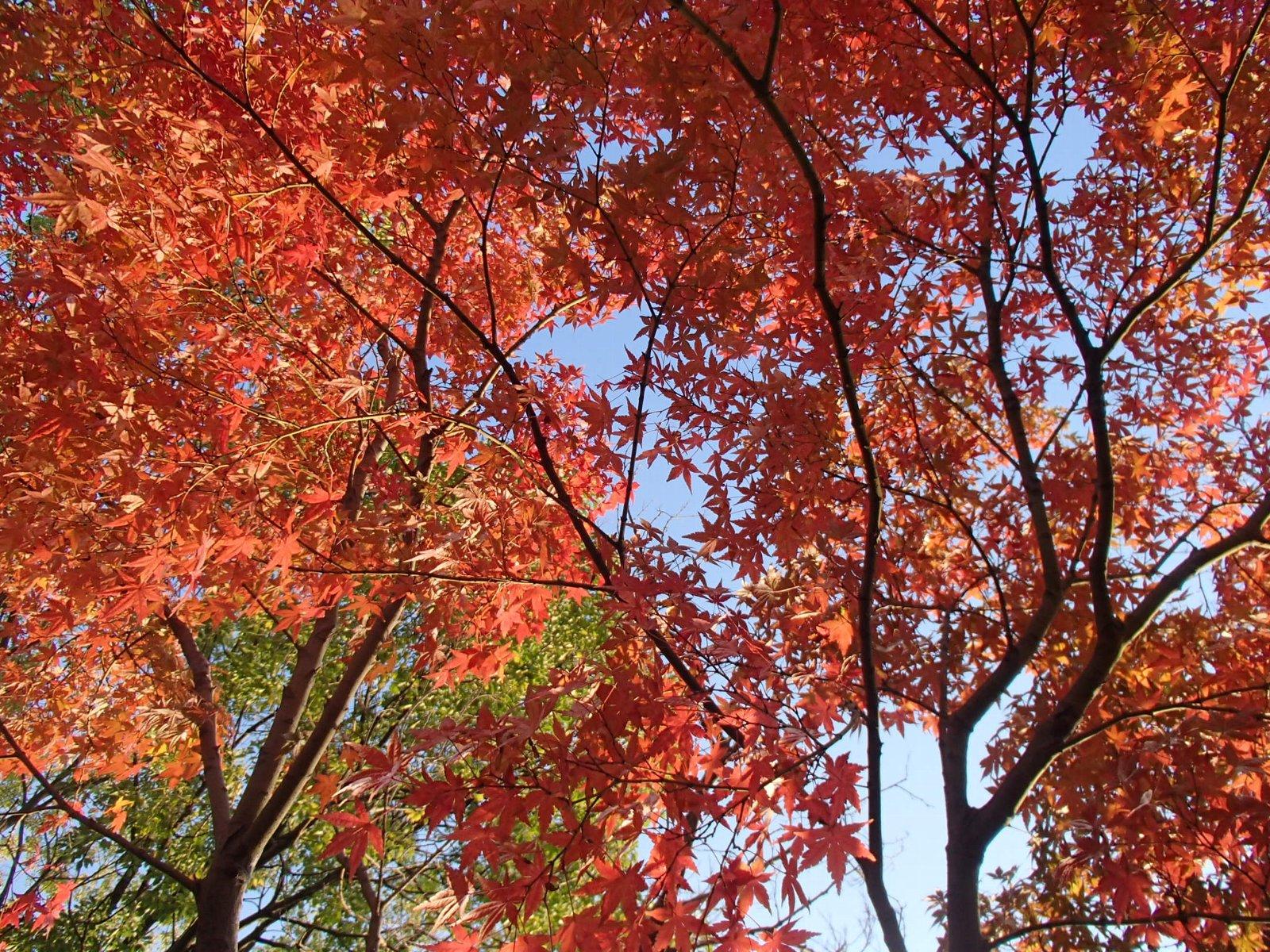 紅葉(大阪)