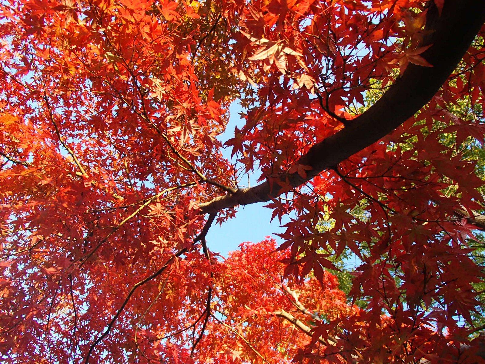 紅葉(大阪)2