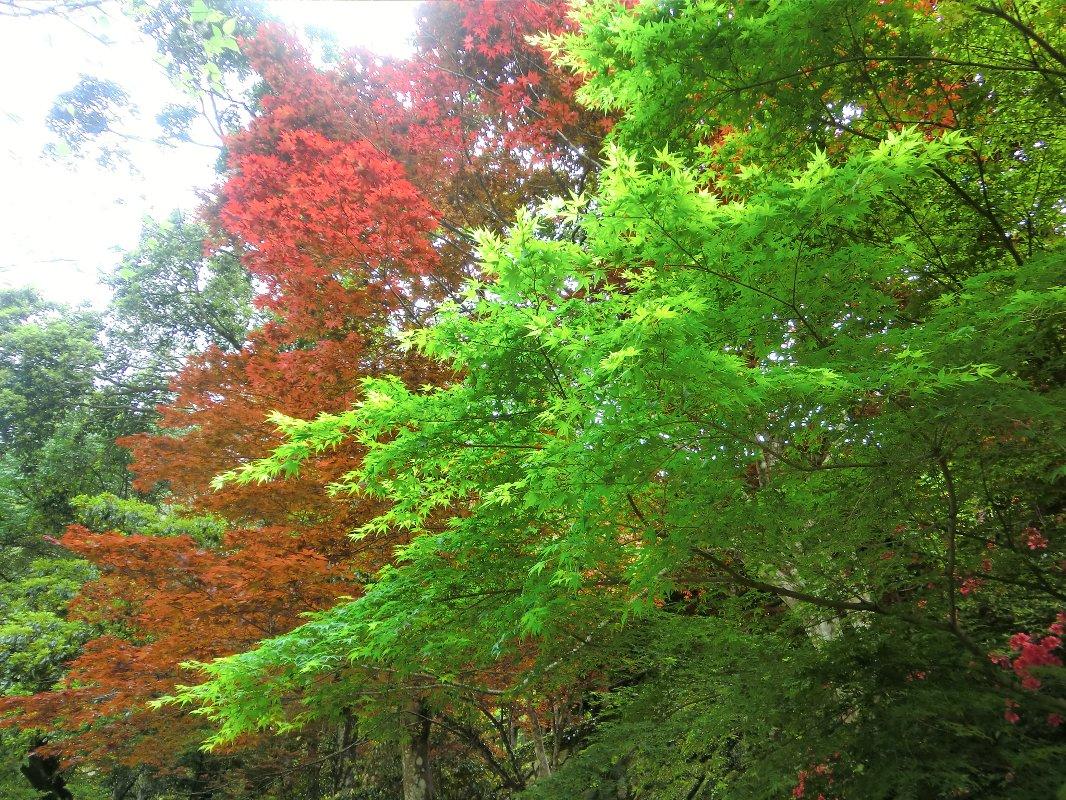 緑と赤のもみじ2