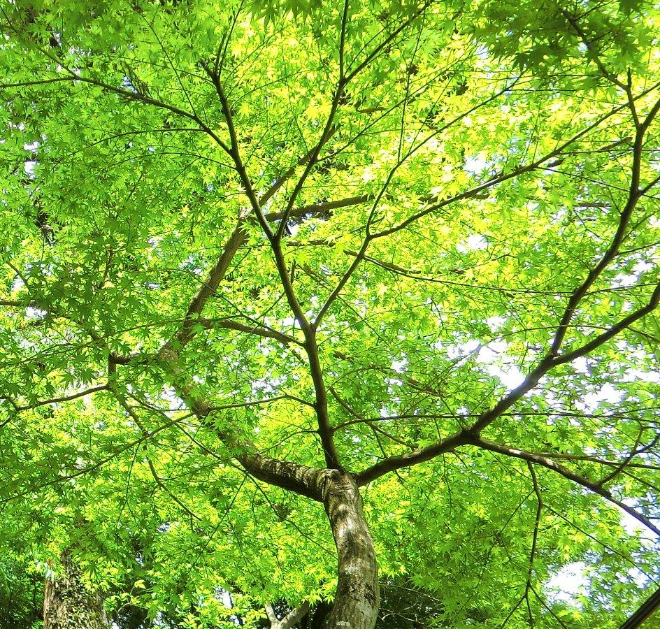 もみじの新緑7