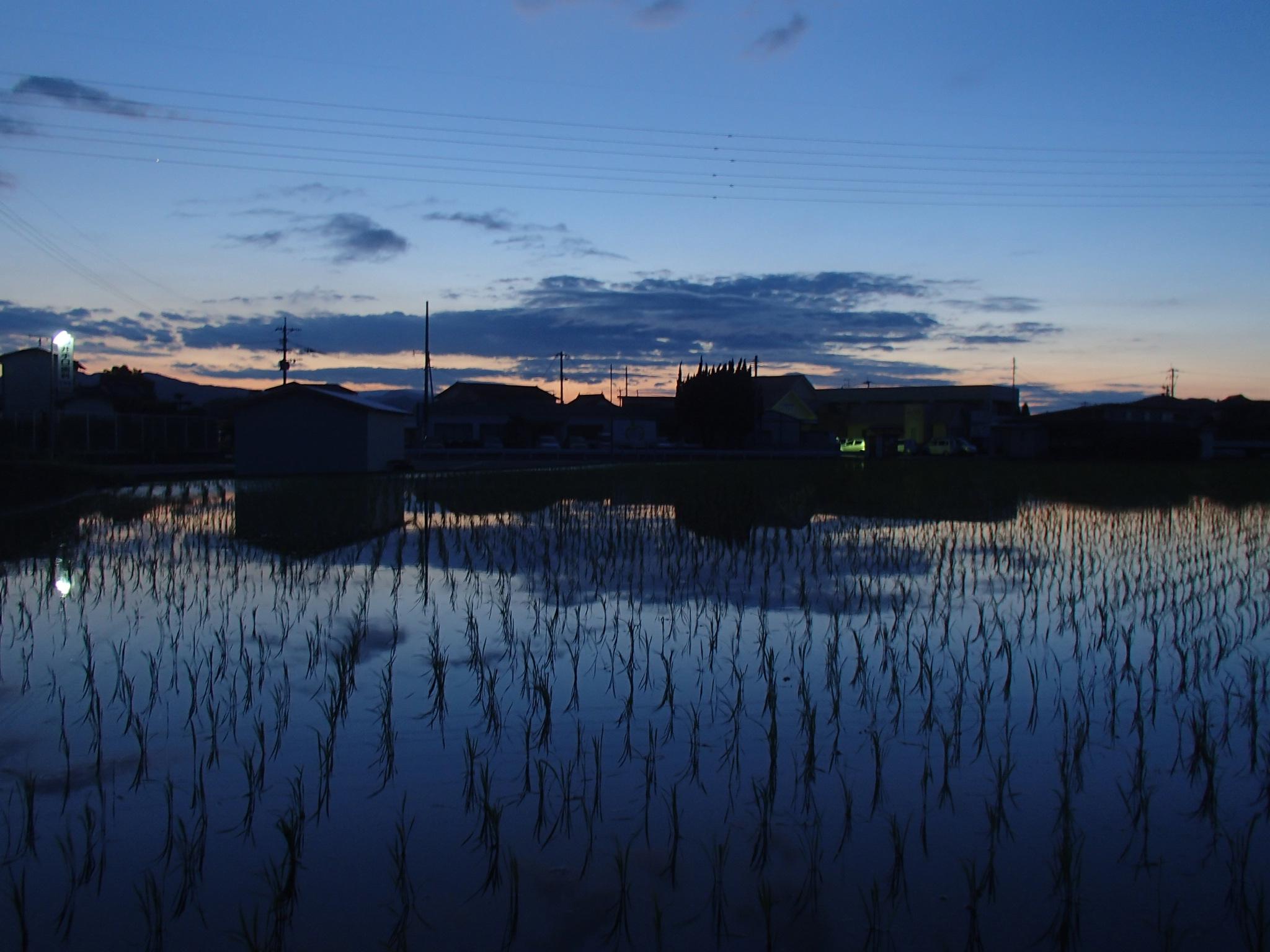 夕暮れの水田